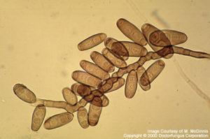 Helminthosporium spicifera,