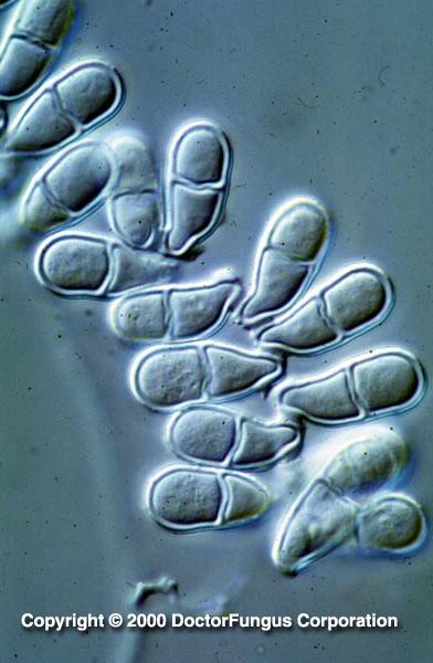 Trichothecium Species